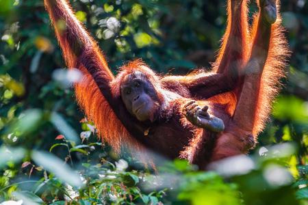 A juvenile Bornean Orangutan at a rehabilitation area in the rainforest of eastern Sabah Reklamní fotografie