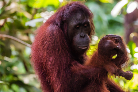 Mother and baby Bornean Orangutan in the tropical rainforest
