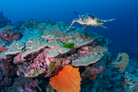 Hawksbill Seaturtle on a colorful tropical coral reef