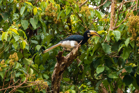 Pied Hornbill in trees above a jungle river in Borneo