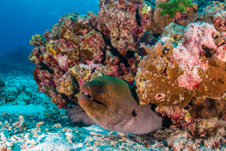 Giant Moray Eel in a small pinnacle on a tropical coral reef