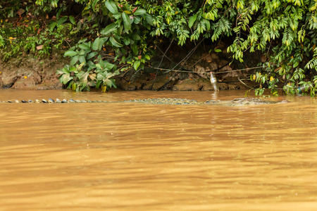 A large Saltwater Crocodile lurking in a muddy brown river in Borneo Stock Photo