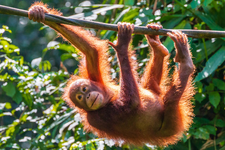 A juvenile Bornean Orangutan at a rehabilitation area in the rainforest of eastern Sabah Stock fotó