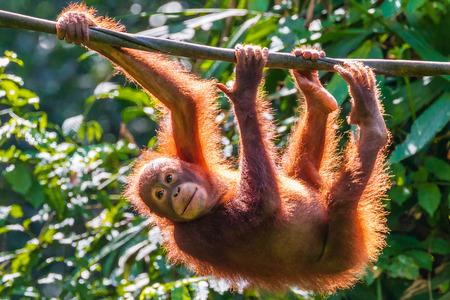 Młody orangutan borneański na terenie rehabilitacji w lesie deszczowym wschodniej Sabah