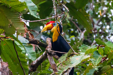 Rhinoceros Hornbill in a tree next to a jungle river in Borneo