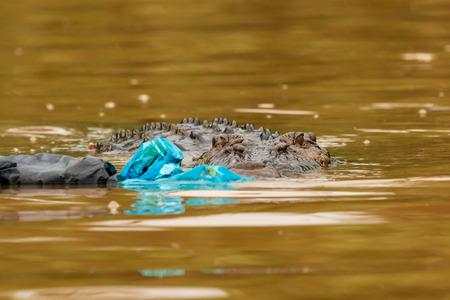 Plastic pollution - a Saltwater Crocodile investigates floating plastic bags and debris in the rainforests of Borneo Banco de Imagens - 115659708