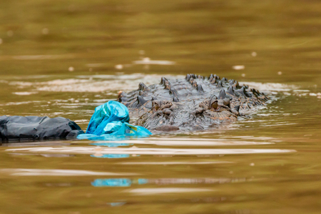Plastic pollution - a Saltwater Crocodile investigates floating plastic bags and debris in the rainforests of Borneo