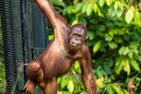 A juvenile Bornean Orangutan at a rehabilitation area in the rainforest of eastern Sabah Banque d'images
