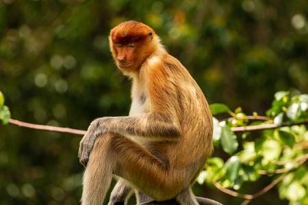 Proboscis Monkeys in the forests of Borneo