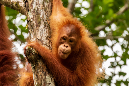 Juvenile Orangutan at Semenggoh in Sarawak, Malaysian Borneo Фото со стока
