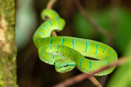 Beautiful but deadly Borneo Pit Viper in a jungle tree at night