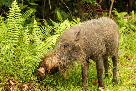 A large Bearded Pig in the Bako area of Sarawak in Malaysian Borneo