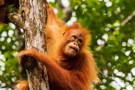 Juvenile Orangutan at Semenggoh in Sarawak, Malaysian Borneo Banque d'images