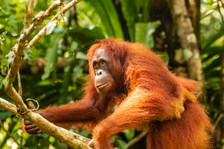 Mother and baby wild Orangutans in the rainforest of Borneo