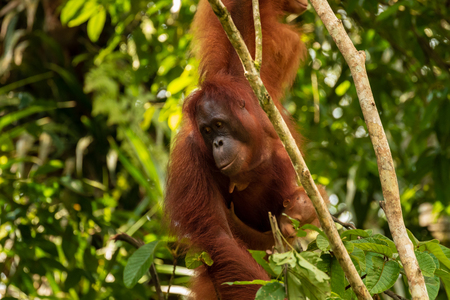 Large Borneo Orangutan in a tree 版權商用圖片