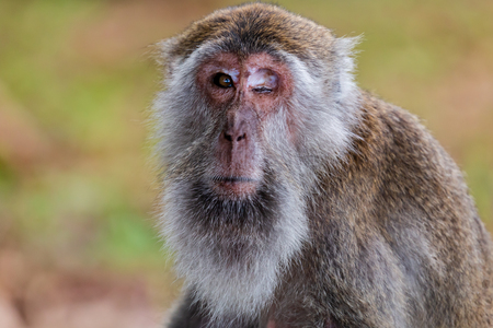 A one eyed Macaque Monkey in Sarawak, Borneo