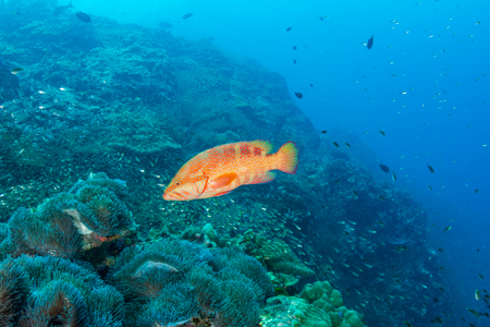 Grouper on a tropical coral reef Stock Photo