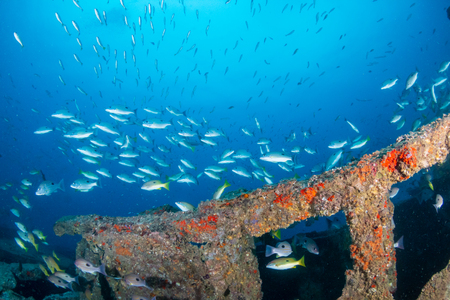 Schools of colorful tropical fish swarming around an old, broken underwater shipwreck Stockfoto
