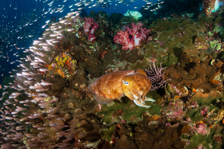 Huge Pharaoh Cuttlefish on a colorful tropical coral reef at dusk Stock Photo