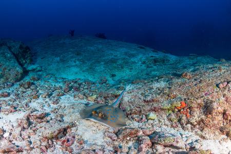 A bluespotted (Kuhls) Stingray on a dark, tropical coral reef Reklamní fotografie