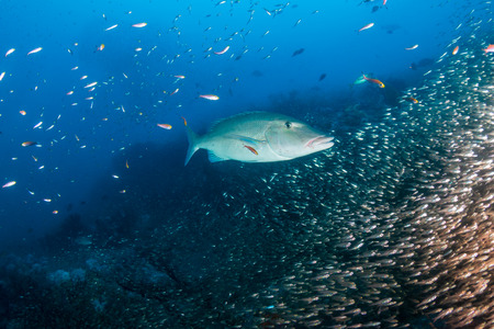 Long Nose Emperor fish hunting on a tropical coral reef