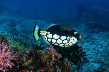 Colorful Triggerfish on a tropical coral reef