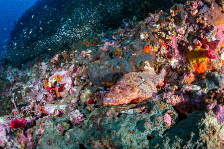 Colorful Bearded Scorpionfish on a dark tropical coral reef (Richelieu Rock, Thailand)