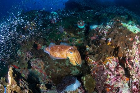 Huge, beautiful Pharaoh Cuttlefish on a tropical coral reef at dawn (Richelieu Rock, Thailand)