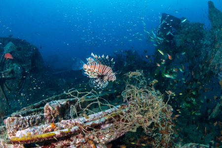 A predatory Lionfish patrolling an old, broken shipwreck at dawn (Boonsung, Thailand) Imagens