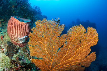 Beautiful and colorful Seafan (Gorgonian Fan coral) on a tropical coral reef