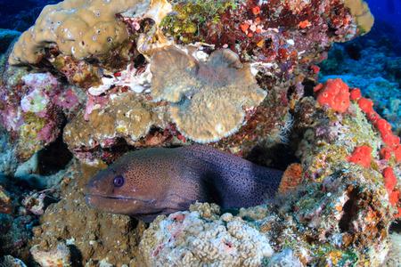 Large Moray Eel on a tropical coral reef Reklamní fotografie - 112643578