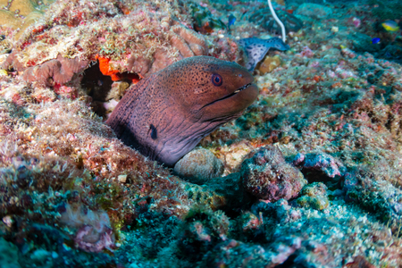 Giant Moray Eel hiding in a hole on a dark, tropical coral reef