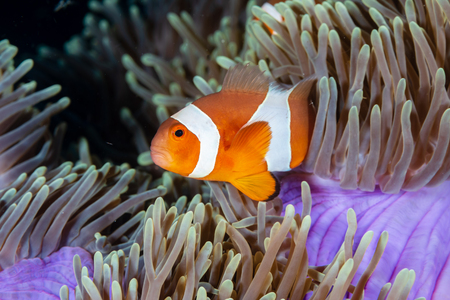 Cute, friendly Clownfish in an anemone on a tropical coral reef