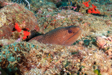 Moray Eel hiding in a hole on a dark coral reef in Thailand