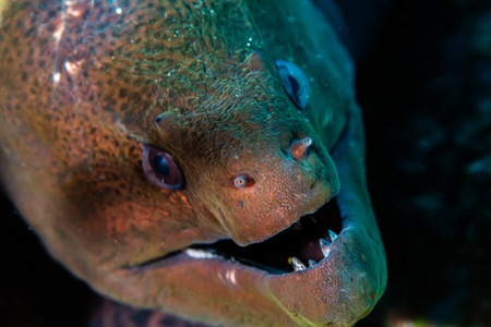 Close up of a Giant Moray Eel on a tropical coral reef Stok Fotoğraf