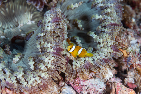 A cute family of Clownfish in an anenome on a coral reef in Thailand