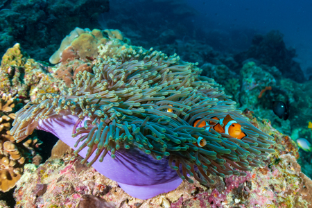 A family of cute False Clownfish in a colorful anemone on a tropical coral reef Stock Photo