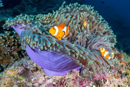 A family of cute False Clownfish in a colorful anemone on a tropical coral reef Archivio Fotografico