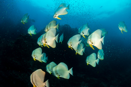 A school of beautiful, large Batfish on a tropical coral reef