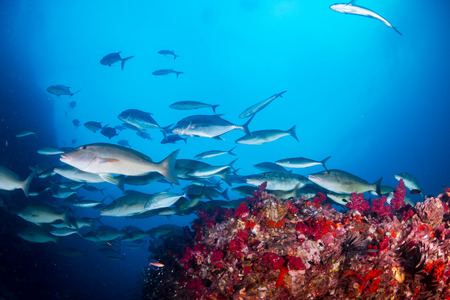 Long nose emperor hunting on a colorful tropical coral reef (Richelieu Rock) Stock Photo