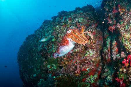 Beautiful Cuttlefish on a dark tropical coral reef (Richelieu Rock, Thailand)