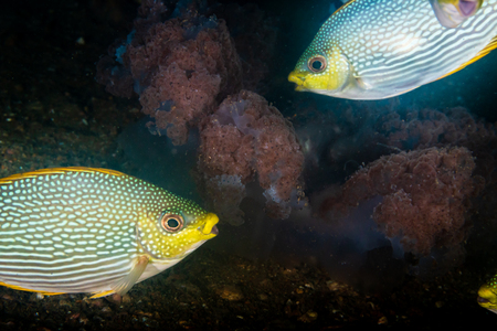 Tropical fish eating a jellyfish on a dark underwater coral reef at dawn Stock Photo - 112712011