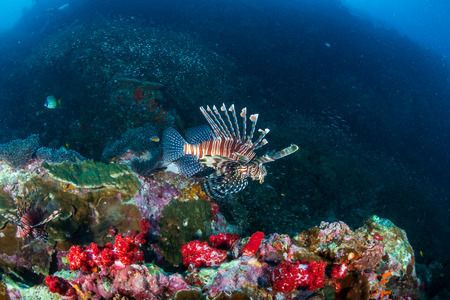 Lionfish hunting at dawn on a tropical coral reef