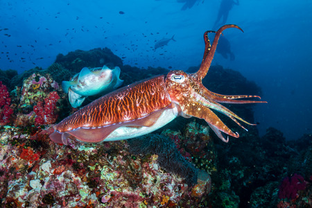 Beautiful Cuttlefish on a dark tropical coral reef (Richelieu Rock, Thailand)