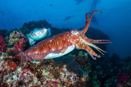 Hermosa sepia en un arrecife de coral tropical oscuro (Richelieu Rock, Tailandia)