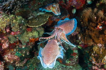 Beautiful Pharaoh Cuttlefish mating on a dark tropical coral reef at dawn