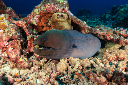 A Giant Moray Eel hiding on a small hole on broken coral