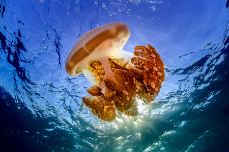 A large Rhizostoma Jellyfish floating near the surface of a clear tropical ocean 写真素材 - 115318341