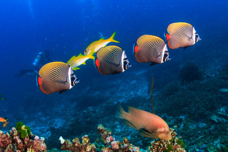 Red stripe Butterflyfish on a tropical coral reef