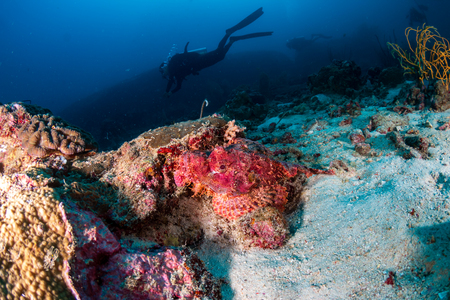 Bearded Scorpionfish hiding on a dark coral reef